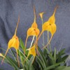 Masdevallia Willys 'Lehua Yellow Glow' (not award photo)
