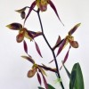 Paph Praying Bernice 'Lehua Vindication' HCC-AOS