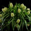 Prosthechea radiata 'Lehua Etheral' CCE-AOS (award photo Barfield)