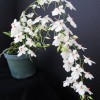Aerangis luteoalba var  rhodosticta 'Flourish'