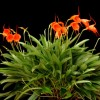 Masdevallia Southern Sun 'Lehua Tangerine Grove' CCM-AOS (award photo)