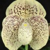 Paphiopedilum Jamboree Jackpot 'Lehua 2 1/2 Oznote' AM/AOS (2012 2334 award photo Barfield) 2012 2334