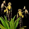 Paphiopedilum Memoria Gordon Peters 'Strikingly Lehua' AM-AOS 20172914 82 pts award photo Barfield)