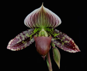 Paphiopedilum Fantastically Wood