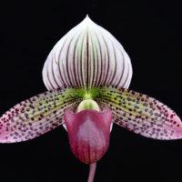 Paphiopedilum Macabre Flutter