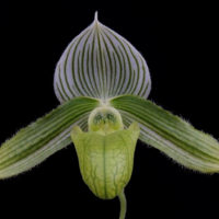 Paphiopedilum Wolf's Folly