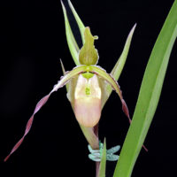 Phragmipedium Macrochilum