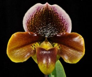 Paphiopedilum Brain Buster 'Slipper Zone Spots in Hiding' AM/AOS
