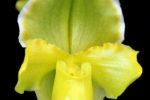 Paphiopedilum Charmingly Golden
