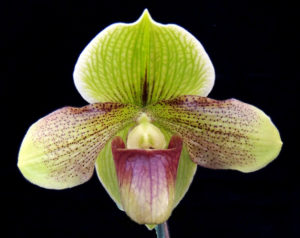 Paphiopedilum Mele's Moonbeam